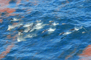 dolphins_oil